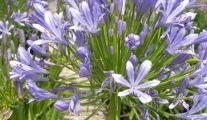 Les plantes vivaces à Jumet