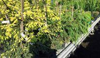 Arbustes Persistants à la pépinière Garden-Abeels