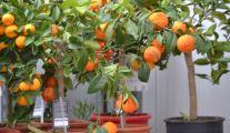Arbres Fruitiers en Pot Groendekor Leeuw-Saint-Pierre
