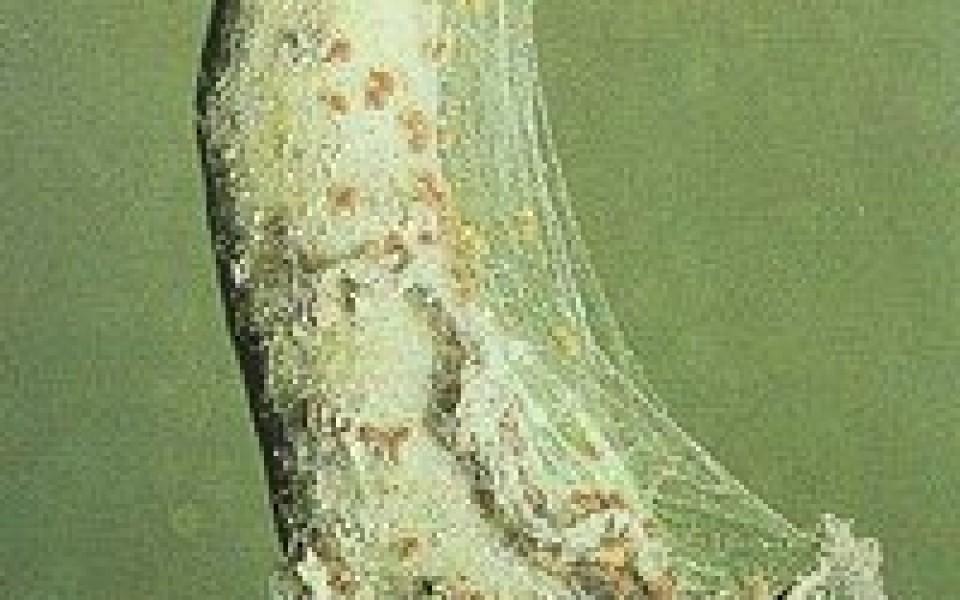 Acariens plantes ornementales lutter contre les acariens - Lutter contre les fourmis ...
