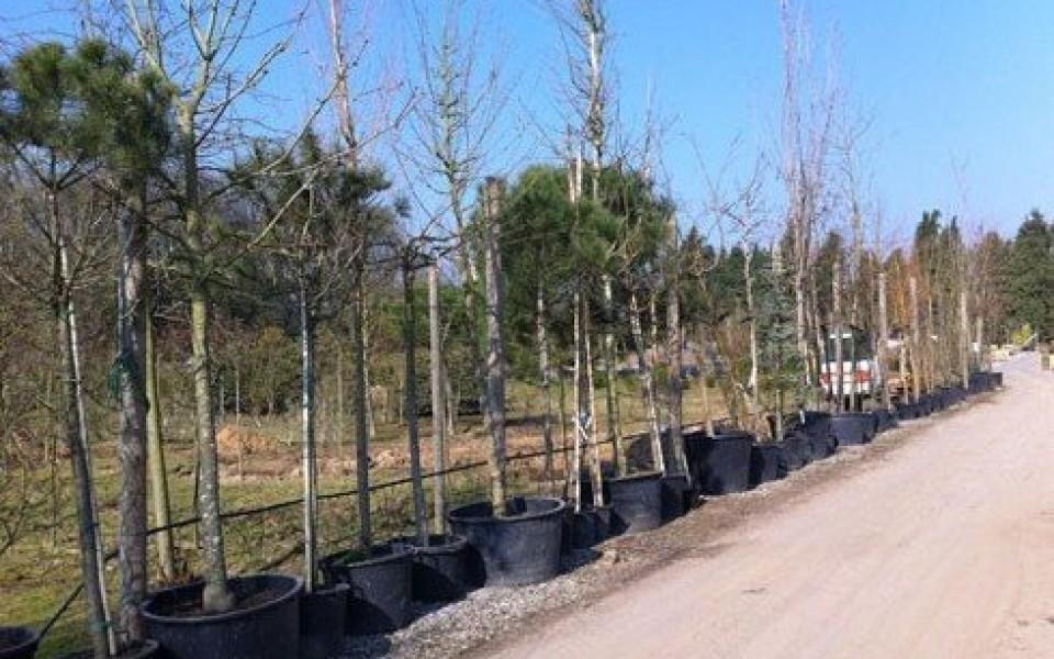 Les grands arbres et gros sujets disponibles bruxelles waterloo - Vente arbres grands sujets ...