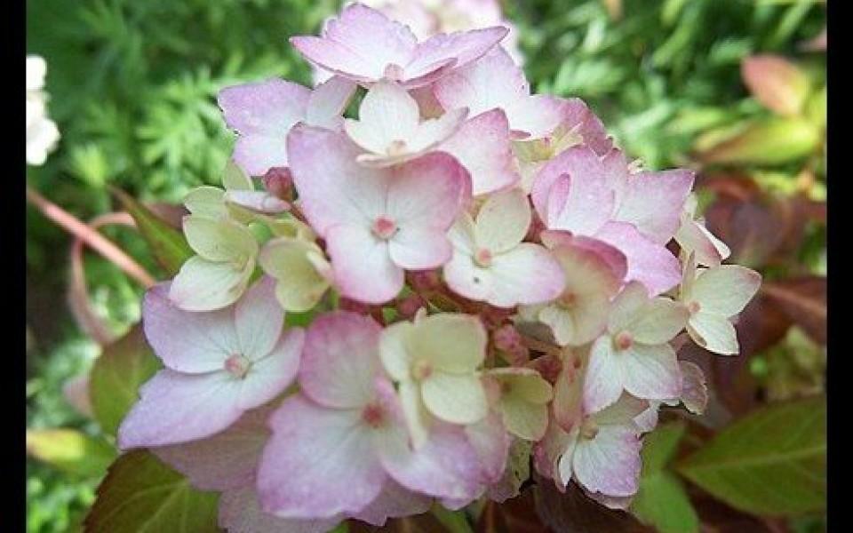 Voici les conseils pour l entretien de hortensias - Decoration jardin ottignies ...