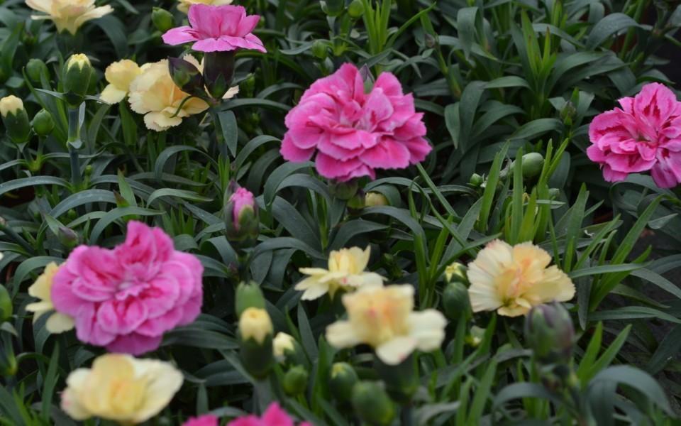 Les plantes vivaces p pini re garden abeels li ge for Les plantes vivaces