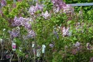 Plantes vivaces grimpantes feuillage persistant groendekor uccle - Arbre d ornement feuillage persistant ...