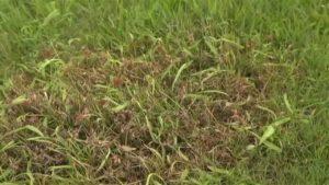 Les mauvaises herbes dans le gazon