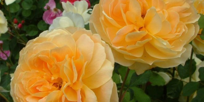 Rosier anglais ausmol for Decoration jardin rosier
