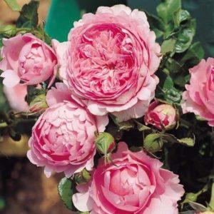 Les rosiers grimpants non remontants for Decoration jardin rosier