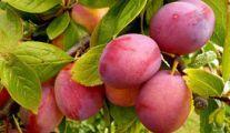 Pepiniere Arbres Fruitiers Varietes Anciennes, Pépinières