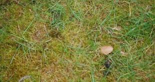 mousse dans le gazon produit bayer