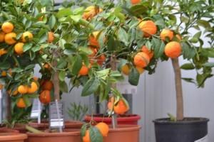 Arbres Fruitiers en Pot Groendekor Uccle