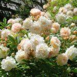 Les rosiers Ghislaine de Féligonde
