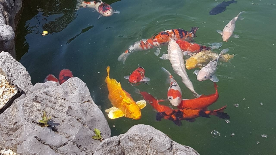 poissons koi namur